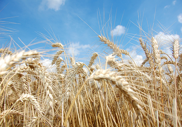Learn how to eat healthy with grains, picture of the grain wheat fields