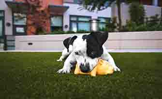 Dog plays with chewtoy, health benefits of owning a pet